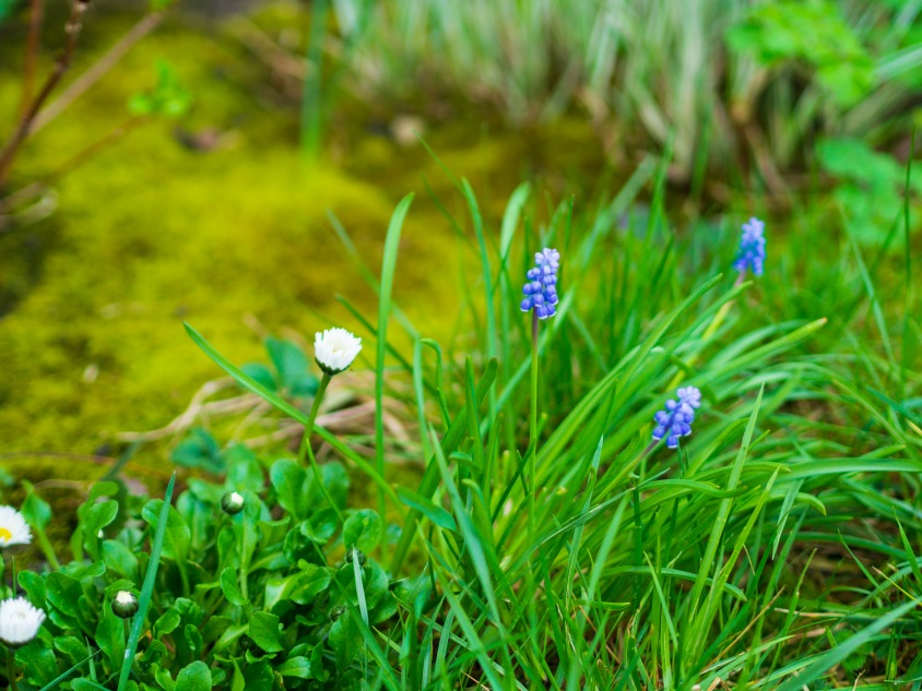 Daisies and grape hyacinths
