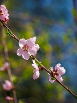 Donut peach blossoms