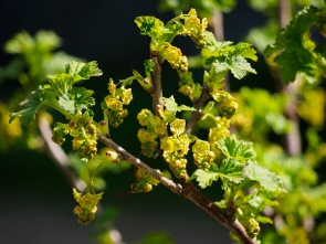 White currant flower buds