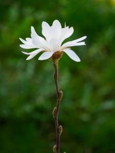 A magnolia blossom