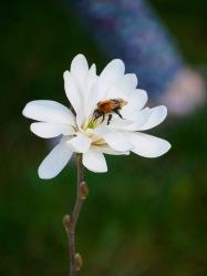 A bumblebee feeds on magnolia nectar