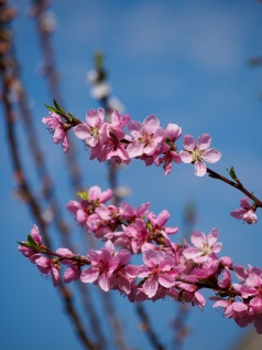 Donut peach blossoms