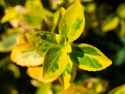 Euonymus Canadale Gold