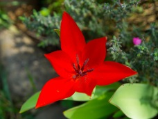 A red tulip