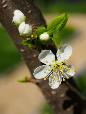 Plum blossoms and buds