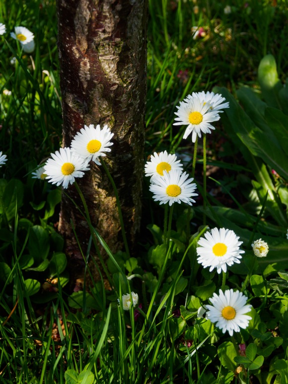 Daisies at the base of our plum tree