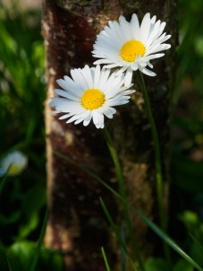 Two daisies at the base of a plum tree