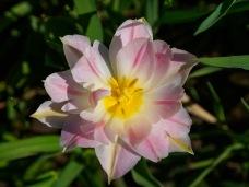 A wide open parrot tulip
