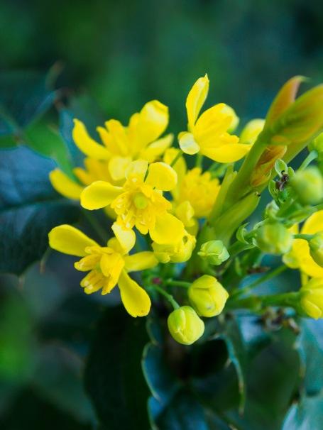 Mahonia blossoms