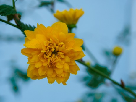 Kerria blossom