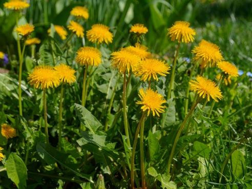 Happy-go-lucky dandelions