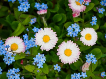 Daisies and forget-me-nots
