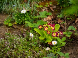 Primula and other assorted plants and flowers
