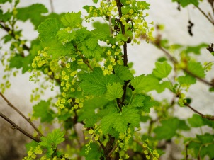 White currant blossoms