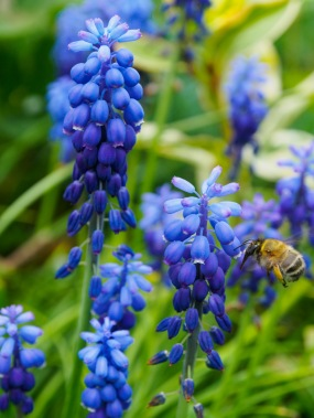 A bee gathers pollen from grape hyacinths