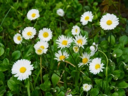 Daisies starting to close their petals for the day