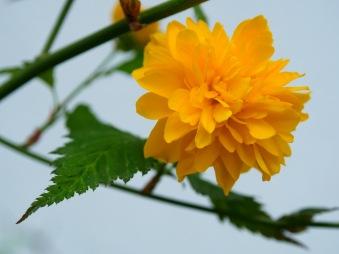 A Japanese kerria rose