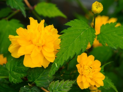 Two kerria japonica roses