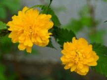 Two Japanese Kerria roses