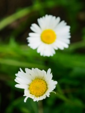 The petals on the lower daisy have been partially eaten by a snail