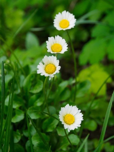 Four daisies
