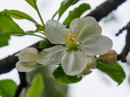 An apple blossom