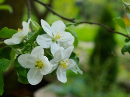 Apple blossoms