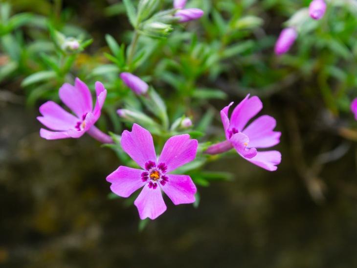 Phlox blossoms