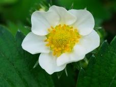 A strawberry blossom