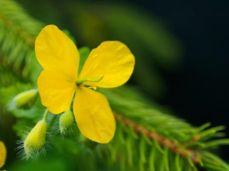 A greater celandine flower