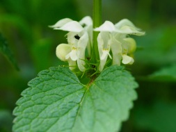 White nettle flowers