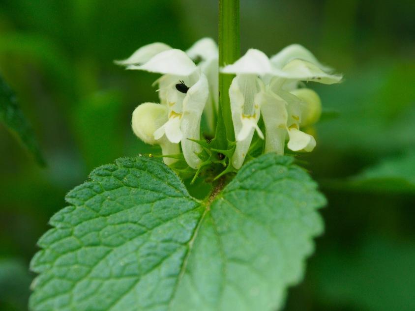 White nettle flowers