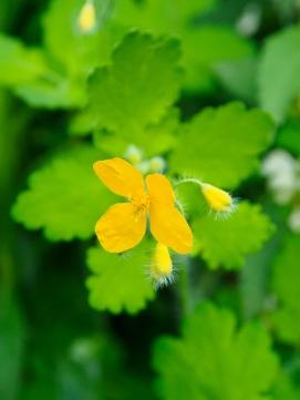 Greater celandine blossom