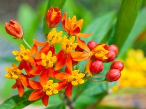 Tiny little orange-red flowers, Vizcaya, Miami, Florida, USA.