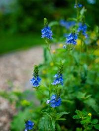 Blue star flowers