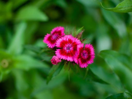 Tiny carnations