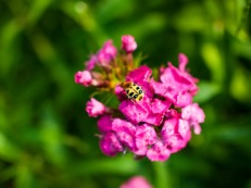 A beetle on carnations
