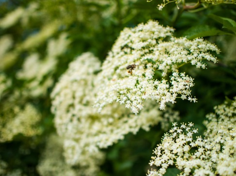 A bee visits the elderberry blossoms