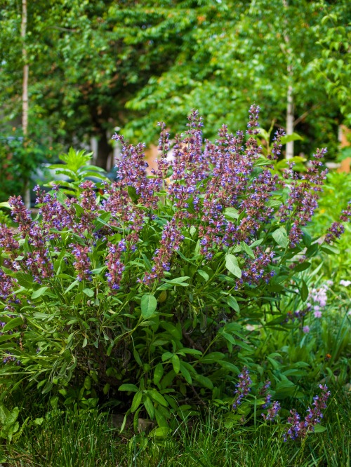 Our sage bush