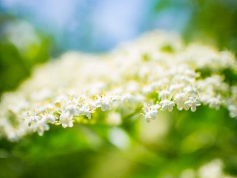 An elderberry blossom