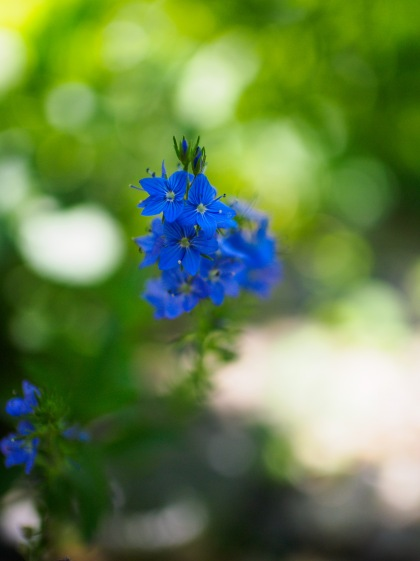 Blue star flowers