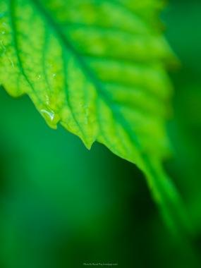 Raindrops on a hydrangea leaf