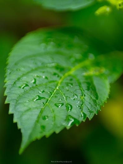 Hydrangea leaf