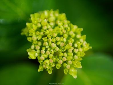Hydrangea buds
