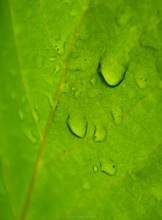 Droplets on a sycamore leaf, seen from underneath. A focus stack.
