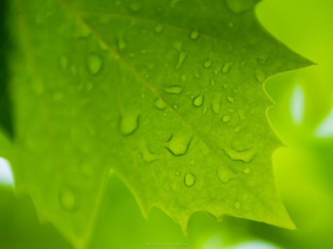 Raindrops on a sycamore leaf
