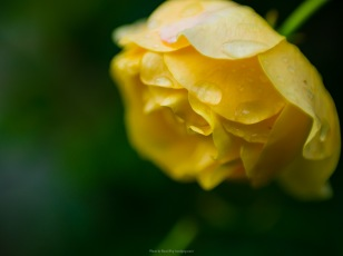 Raindrops on a yellow rose