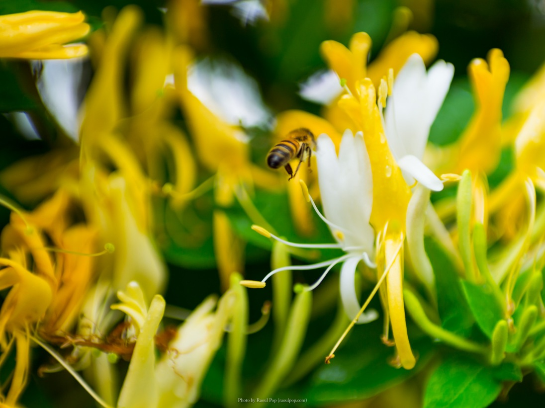 Honeybee and honeysuckle