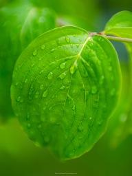 Rain on a dogwood leaf