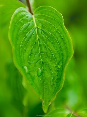 Raindrops on a cornelian cherry leaf